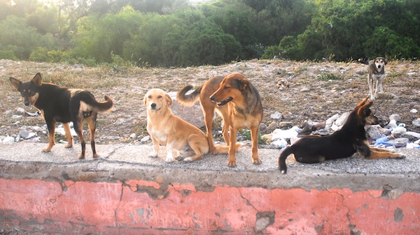 Bohaira dog pack