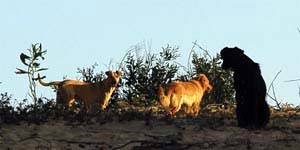 Wild dogs in the forest