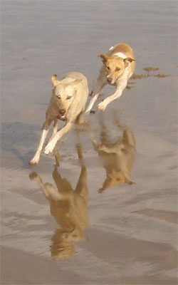 Dogs play in the beach