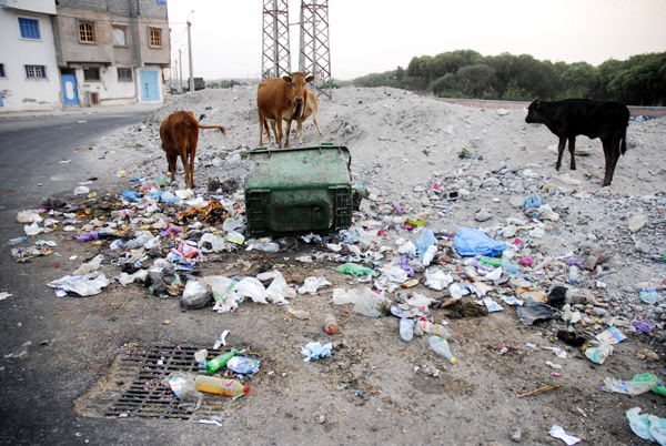 Cows and the garbage containers
