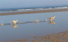 Dogs playing in the beach of Plage Safi