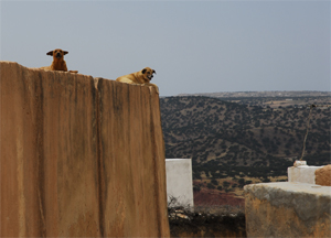 Dogs watching on the roof